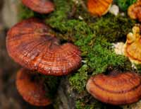 ganoderma-lucidum-raw-nature-supplement
